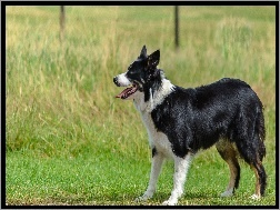 Trawa, Border collie
