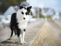 Border collie, Murek