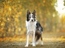 Droga, Pies, Border collie