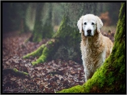 Golden Retriever, Pnie, Las, Drzew