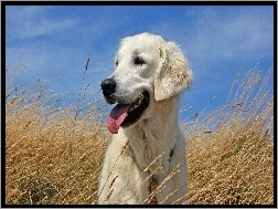 Golden Retriever, Trawa, Niebo