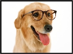 Język, Retriever, Golden, Okulary