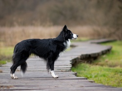 Kładka, Pies, Border collie