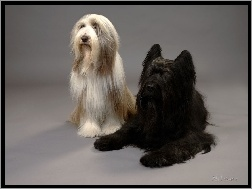 Owczarek Francuski Briard, Bearded Collie