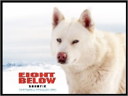 pies, Eight Below, biały