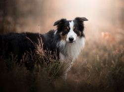 Tło, Wrzosy, Border collie, Pies, Rozmyte