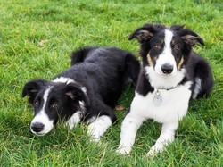 Trawa, Dwa, Border Collie