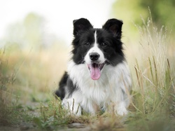 Trawa, Border collie, Pies, Mordka