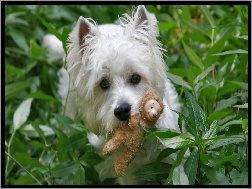 West Highland White Terrier, Zabawka