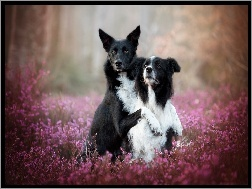 Wrzos, Psy, Border collie
