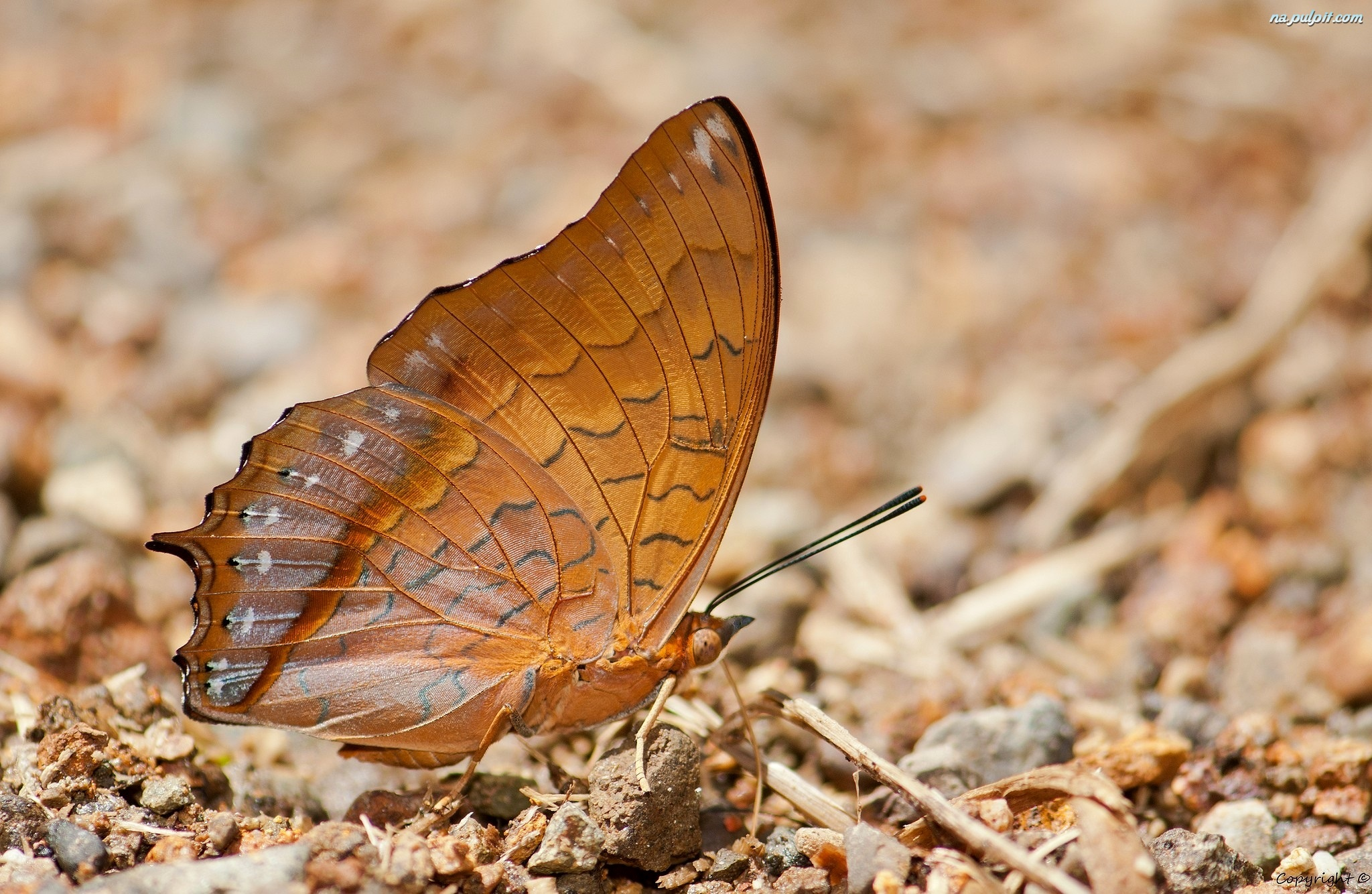 Charaxes affinis, Brązowy, Motyl