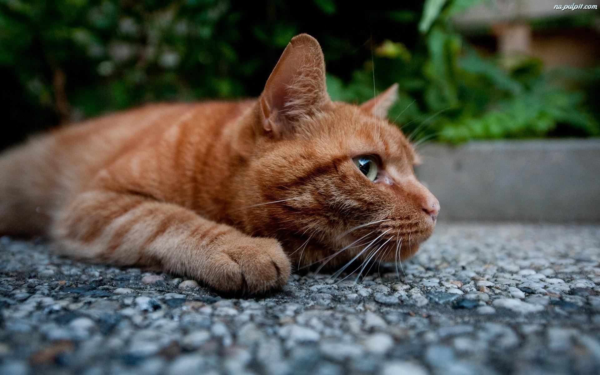 Kot Rudy Leżący Na Pulpit