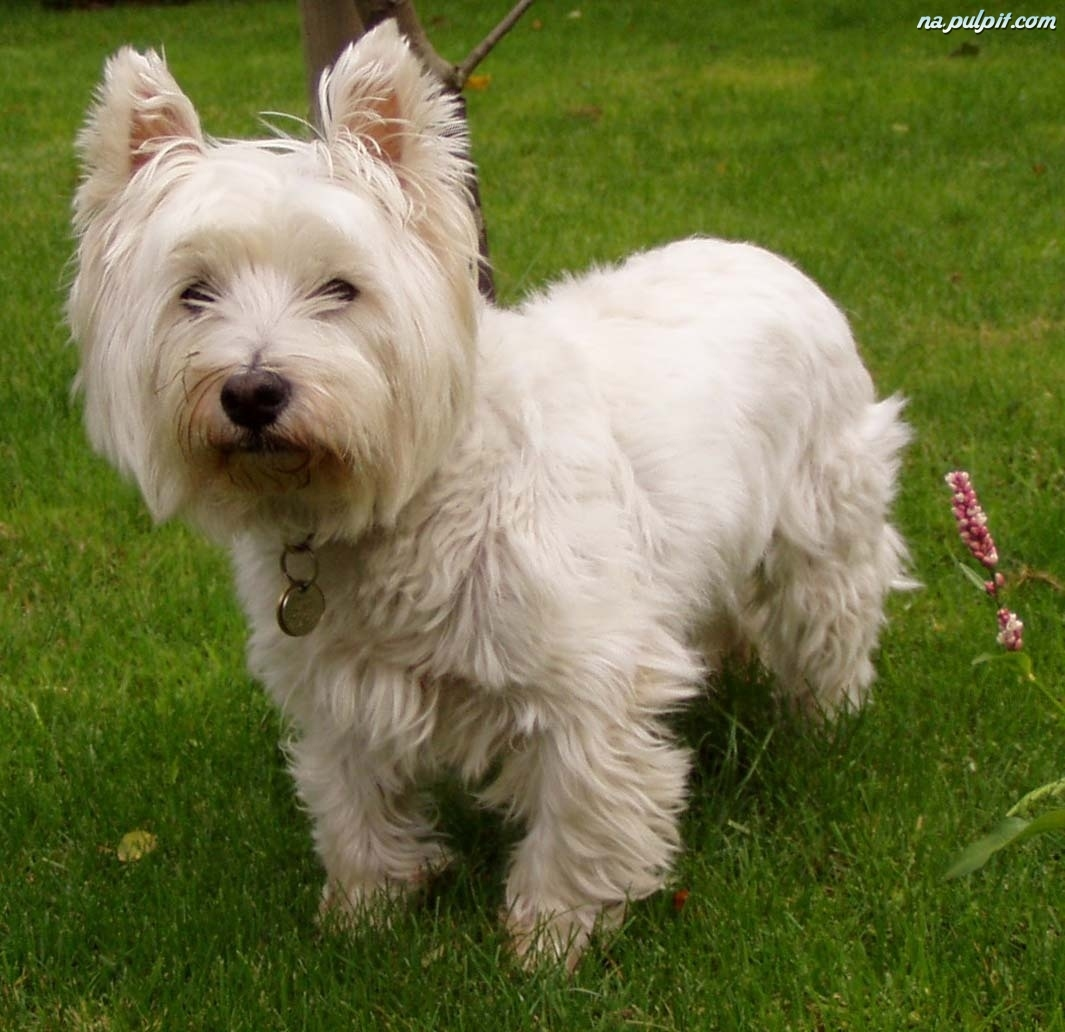 słodki, West Highland White Terrier